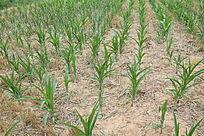 干旱的玉米田