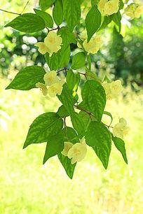 开白花的树