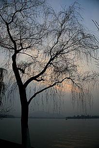 西湖边的树