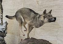 奔驰的狼狗