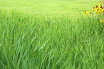 草坪前的绿草和菊花