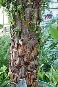 香蕉树的树干