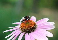 小蜜蜂采蜜在紫色天人菊花朵上