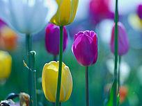 色彩滨汾的郁金香