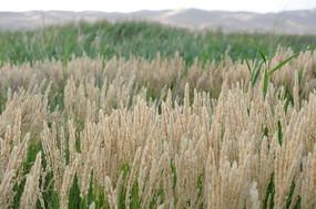 沙漠中的绿植狼尾草