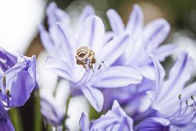 百子莲花卉和蜜蜂