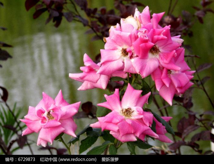粉色蔷薇花图片图片