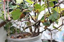 葡萄的根部