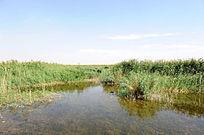 沙漠中的芦苇荡清澈的湖水