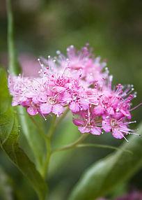 鲜艳的粉花绣线菊