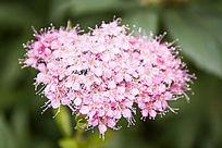 一株鲜艳的粉花绣线菊