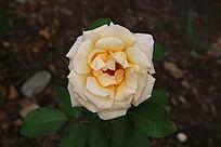 淡黄色的月季花朵
