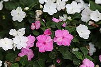 粉红色的小红花花丛