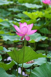 粉红色荷花七月绽放绚丽