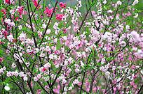 粉红色桃花