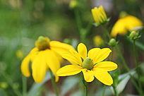 金黄的冰岛罂粟菊花