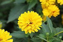 金黄的绽放的菊花