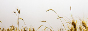 白底小麦穗