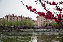 楼房河边碧桃花