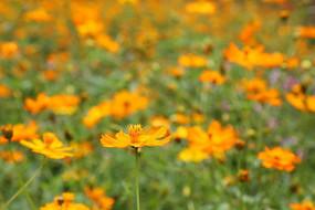 透视金色黄花丛