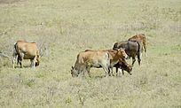 一群在山上吃草的牛