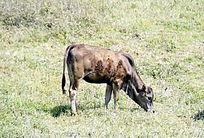 一头牛在山上吃草