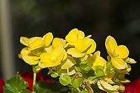 黄玫瑰海棠