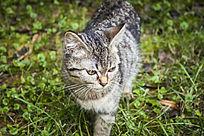 草地上的灰色小猫