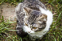灰色的小猫