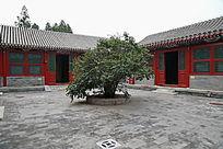 老北京四合院树