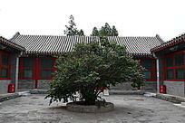 老北京四合院植物绿树