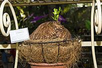 亚洲猴脑鹿角蕨