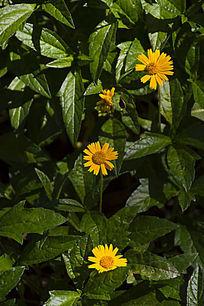 草丛中的小菊花
