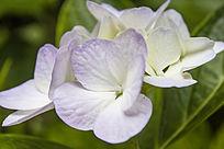 淡紫色的绣球花花朵