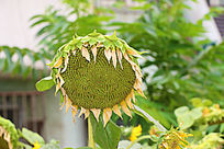 即将成熟的向日葵