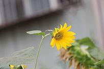 美艳的向日葵花