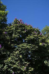 天空下的大叶紫薇