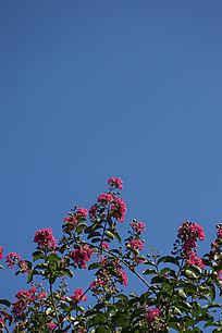 碧蓝的天空下的紫薇花