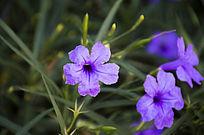 草丛中的紫色喇叭花