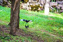 绿草地上嬉戏的鸟