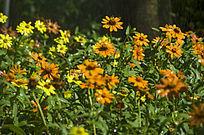 喷淋下的金黄色的小野菊