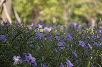 树林中的蓝色喇叭花丛
