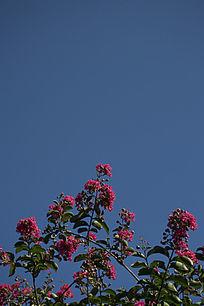 天空下的紫薇