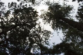 直插云霄的松树松林