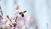 采花蜜的蜜蜂