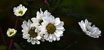 白色菊花朵朵图片