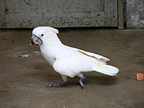 白头凤鹦鹉在觅食