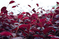 红色叶子的植物