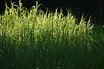 芦草背景图片