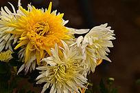 美丽的菊花朵朵图片